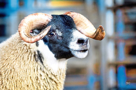NEW RECORD: This Blackface ram lamb fetched £200,000 at the Dalmally sale.