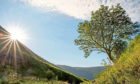 The Survivor Tree, in Carrifran Valley in the Borders, which has won Scotland's Tree of the Year title  for 2020.