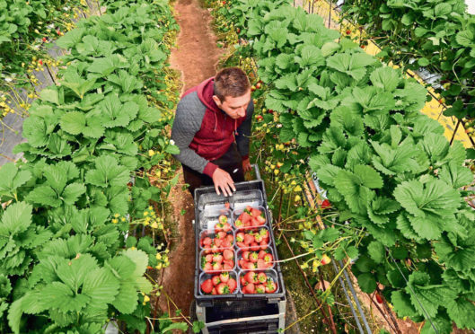 HARVEST: Seasonal migrant workers are needed because Britons will not do the work.