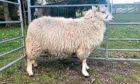 The champion smallholder sheep was a Shetland ewe lamb from David Alcorn.