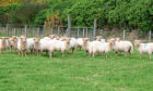 The Portland sheep kept by RBST enthusiast  Martin Beard