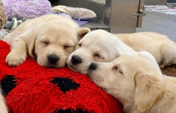 Guide Dogs make themselves at home at Amazon Dunfermline during a visit.