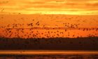 More than 80,000 pink-footed geese have been counted at Montrose Basin. Pic: Kirsty Wright
