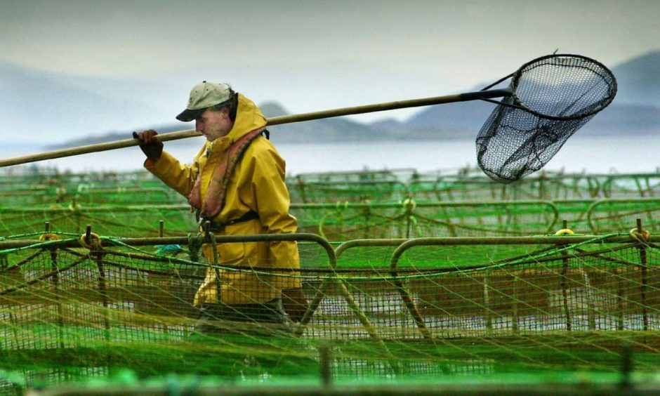 A Scottish salmon farm worker Recent library filer of a worker at a salmon farm on Loch Linnhe near Fort William. Outbreaks of sea lice and accusations that farmed salmon are artificially coloured and may contain PCBs and dioxins, have put the fish farm industry under severe pressure.   *... Scottish salmon farming is regulated by 10 statutory bodies, 63 pieces of legislation, 43 European directives, three European regulations and 12 European Commission decisions.