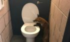 The unfortunate fox was found badly injured in a toilet at Dens Park.