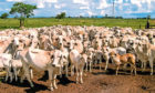 HERD INSTINCT: Farmers are worried about cheap beef imports from South America.