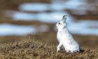The Scottish mountain hare.
