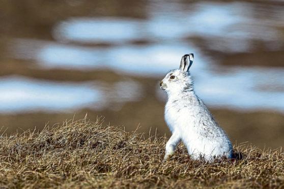 The Scottish mountain hare.