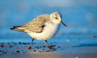 A sanderling busy on the water's edge.
