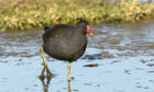 A moorhen in search of food.