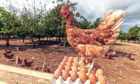 The project aims to boost hen welfare.