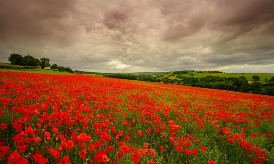 A sea of red poppies under a stormy sky.