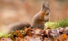 The red squirrel: one of our best loved mammals.