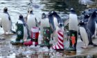 Gentoo penguins at Edinburgh Zoo enjoy some festive treats.