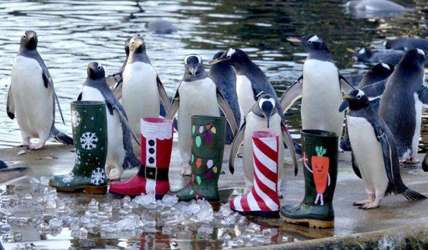 Gentoo penguins at Edinburgh Zoo enjoy some festive treats.