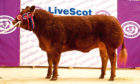 TOPPER: Mateus Rosie, a 20-month-old heifer from Wilson Peters, Monzie, Crieff, sold for the day's top price of £6,600.