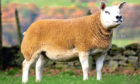 TOPPER: The 20,000gn in-lamb Texel gimmer from Sportsmans which sold at the Carlisle Christmas Stars sale.