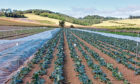 GROWING CONCERN: Downy mildew can render broccoli and cauliflower unsaleable.
