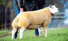 SHE'S THE TOPS: Heatheryhall Erin fetched 2,200gns at Beltex Scotland club sale.