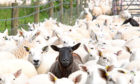 """COVID: The """"sheep lads"""" could corral everyone into the high street and get them vaccinated in no time at all."""