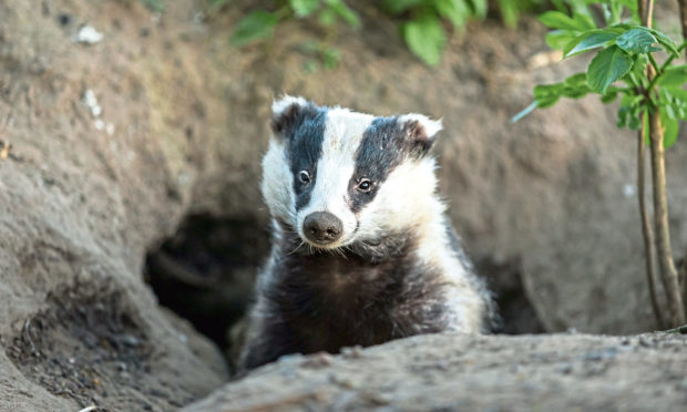 RARE SIGHT: A badger in its natural woodland habitat, peeping out of its sett.