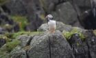 A puffin on the Isle of May.