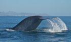 A blue whale diving