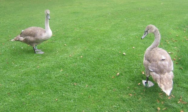 Two cygnets in St Andrews.