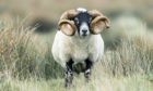 CONCERNS: The bulk of sheep trade between Scotland and Northern Ireland is for Blackface sheep.