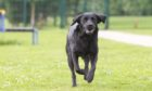 Guide Dogs for the Blind Forfar training school ...Pebbles having fun ....Pic Paul Reid