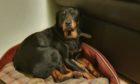 Missing Rottweiler Alana