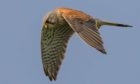 Kestrels are doing well in Highland Perthshire, an action group have stressed.