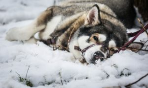 Malamutes were bred as sled dogs, so Jasmine was right at home in the snow.