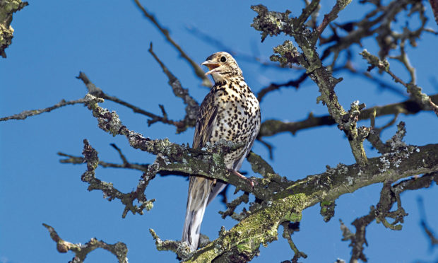 Hope springs as an adult mistle thrush sings.