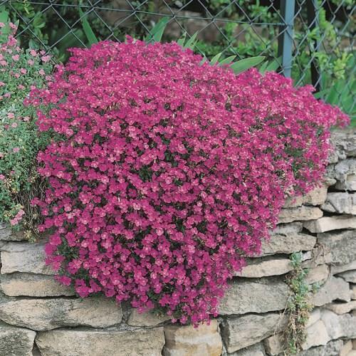 Red Aubrieta