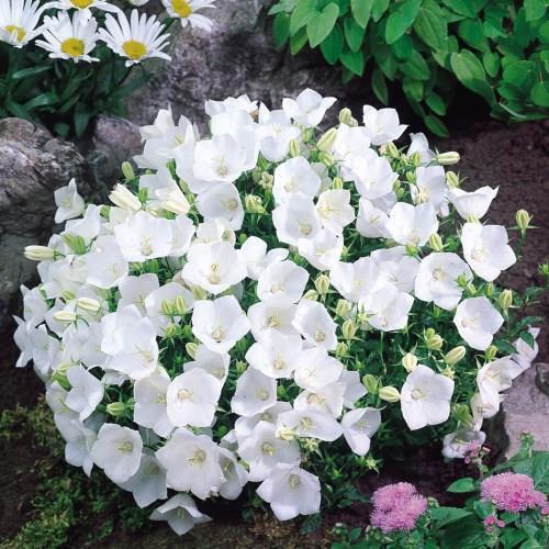 Campanula Carpatica Alba.