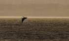 The humpback whale in the Forth as captured by photographer Wullie Marr.