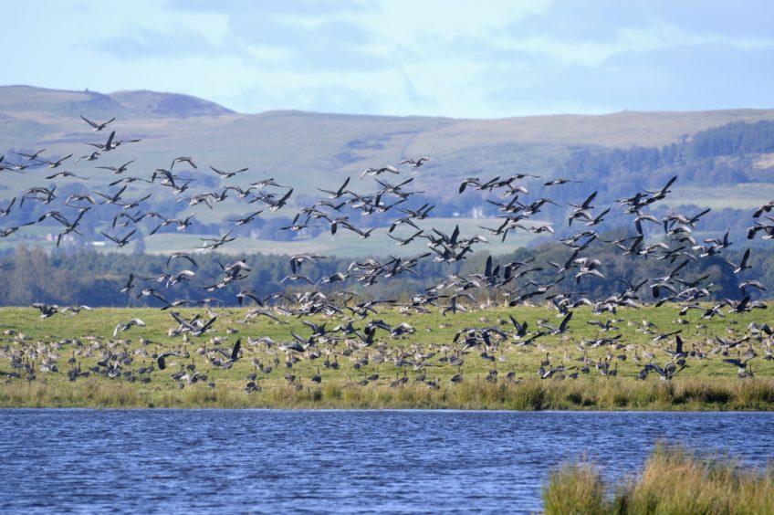 Wild geese at Loch Leven.