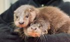 Inver and Forth, the otter cubs rescued in Inverkeithing.
