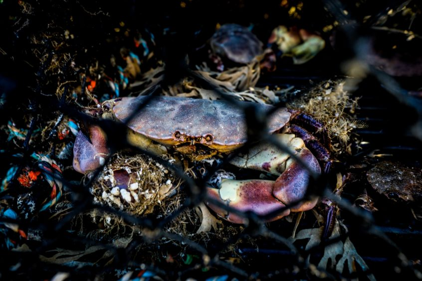 A crab in a creel at Arbroath Harbour.