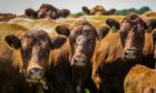A lack of magnesium means cows can be at greater risk of grass staggers.
