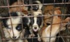Puppies seized by the Scottish SPCA Special Investigations Unit.