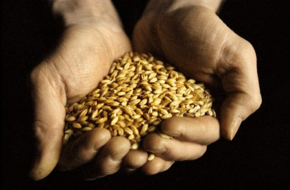 Barley - essential to Scottish agriculture and whisky.