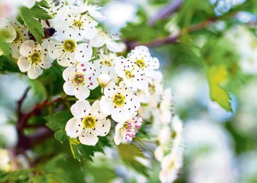 Hawthorn blossoms.