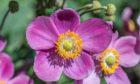 Anemone Hadspen