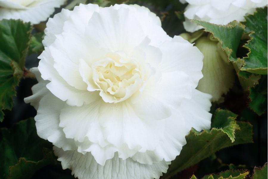 Double Begonia (White)