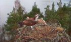 Back in Perthshire, female osprey NC0