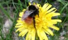 New bee species recorded by expert Anthony McCluskey at Ben Lawers