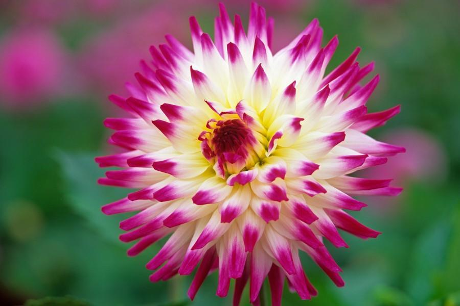 Dahlia Hayley Jane Cactus