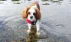 Stella, the King Charles Spaniel who was attacked by two dogs in Finlathen Park.